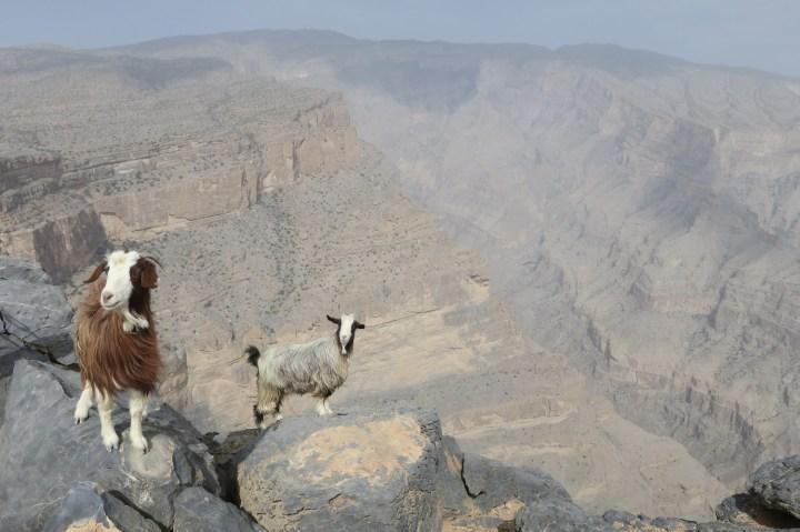 Jebel Shams goats